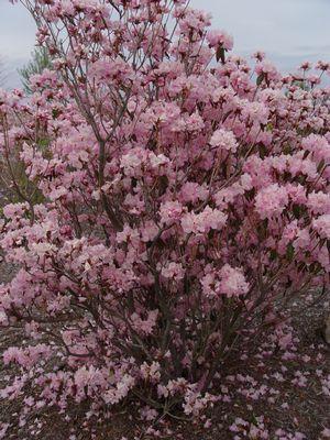 Azalea Cornell Pink 2c